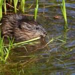 Bisambekämpfung an den Gewässern der Region – auf Haustiere achten