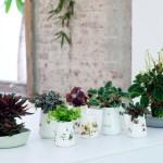 Zwergpfeffer ist Zimmerpflanze des Monats April – Abwechslungsreiche Wohlfühlpflanze in handlichem Format