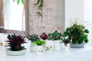 Zwergpfeffer ist Zimmerpflanze des Monats April - Abwechslungsreiche Wohlfühlpflanze in handlichem Format