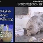 Hängebauchschweine beim essen. TVüberregional für Sie unterwegs. Bleiben Sie in den Köpfen der Bürger – Werbung bei TVüberregional