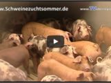 Glückliche Schweine – Schweinezuchtbetrieb Sommerhof in Dielheim