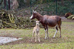 Mama und Jungtier-Blessbock Zooschule Heidelberg