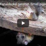 Kleintier aus Kanaldeckel gerettet.Small pigeon saved from manhole cover.