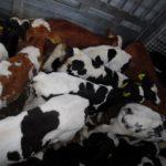 A 5, A6, A 61 – Walldorf: Tiertransportkontrollen mit dem Veterinäramt des Rhein-Neckar-Kreises – keine gravierenden Verstöße