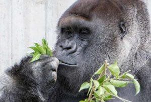 Weihnachtszeit … Einkaufszeit -Alte Mobiltelefone sammeln, bei uns abgeben und damit Gorillas retten 02