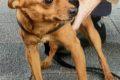 Mannheim-Neckarstadt: Vor Supermarkt angeleinter Hund gestohlen – Polizei sucht Zeugen