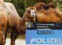 Leimen, Rhein-Neckar-Kreis: Kamele spazieren auf Bundesstraße