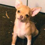 Chihuahua aus Garten gestohlen – Wer hat Verdächtiges beobachtet und kann Hinweise geben
