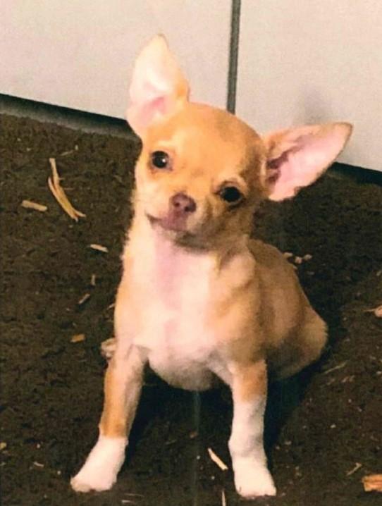 Ein bislang unbekannter Täter stahl am Montagmittag von einem umzäunten Grundstück im Sportplatzweg einen fünf Monate alten Chihuahua.