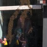 Heidelberg-Neuenheim: Ein Bienenschwarm auf Abwegen
