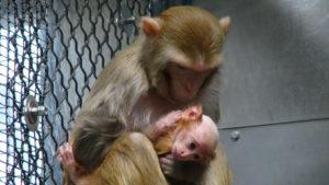 Tierversuche an Affen – umstritten, aber angeblich manchmal unverzichtbar. Symbolbild Versuchstiere in den USA, PETA (People for the Ethical Treatment of Animals), Pressematerial.