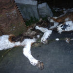 Corona verschärft die Lage: Tote Kälber in Misthaufen, in Güllegruben und Gräben