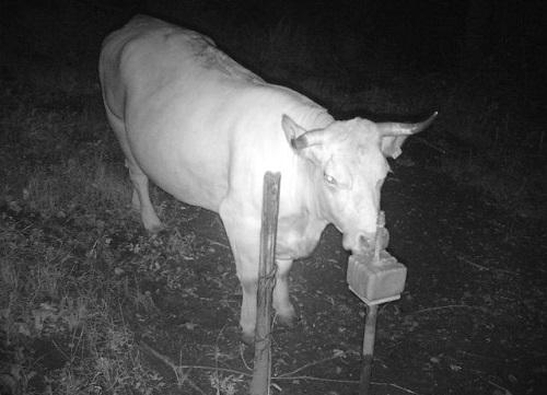 Kuh und Besitzer gesucht - Wer kann Hinweise geben